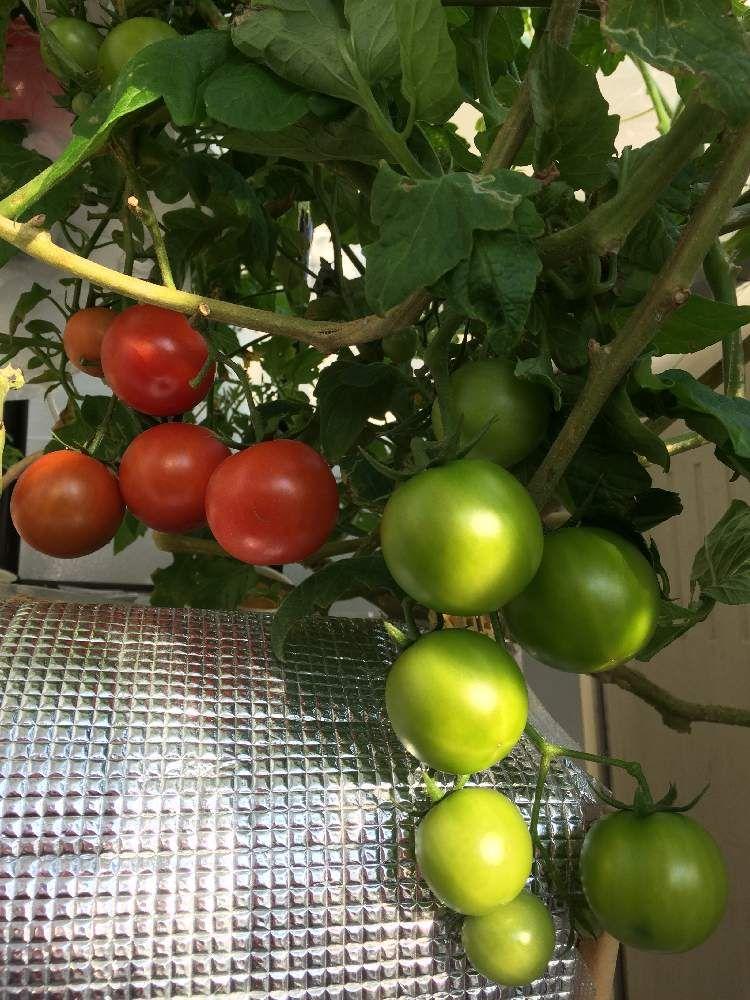 水栽培の投稿画像 By Naomiさん 楽しく育てるトマト苗と家庭菜園と種