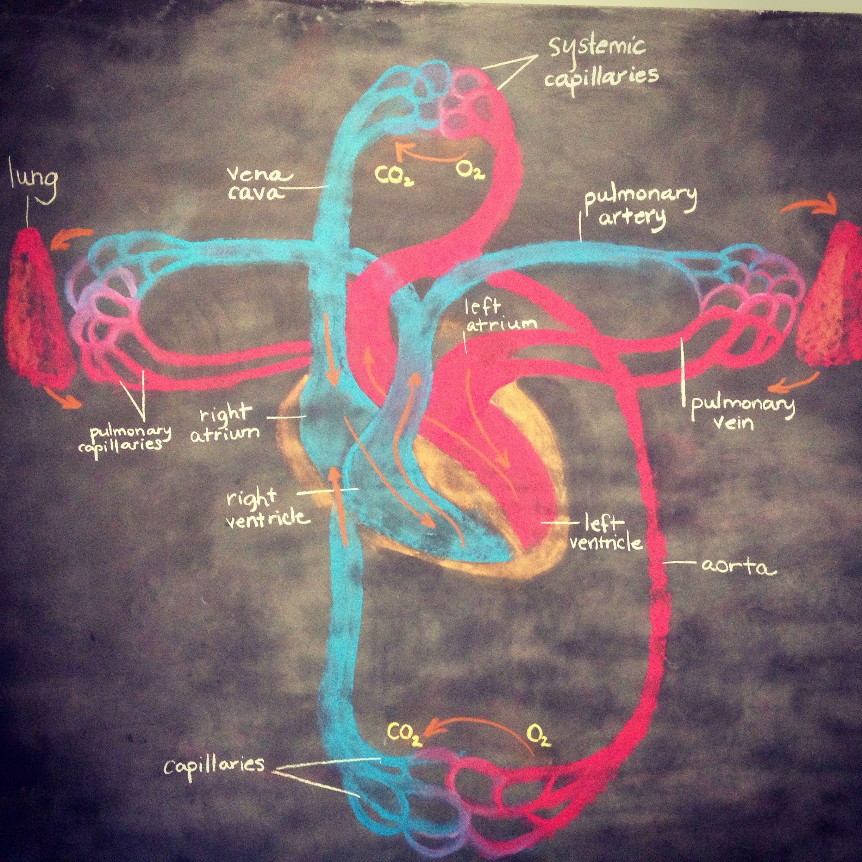 7th Grade Circulatory System