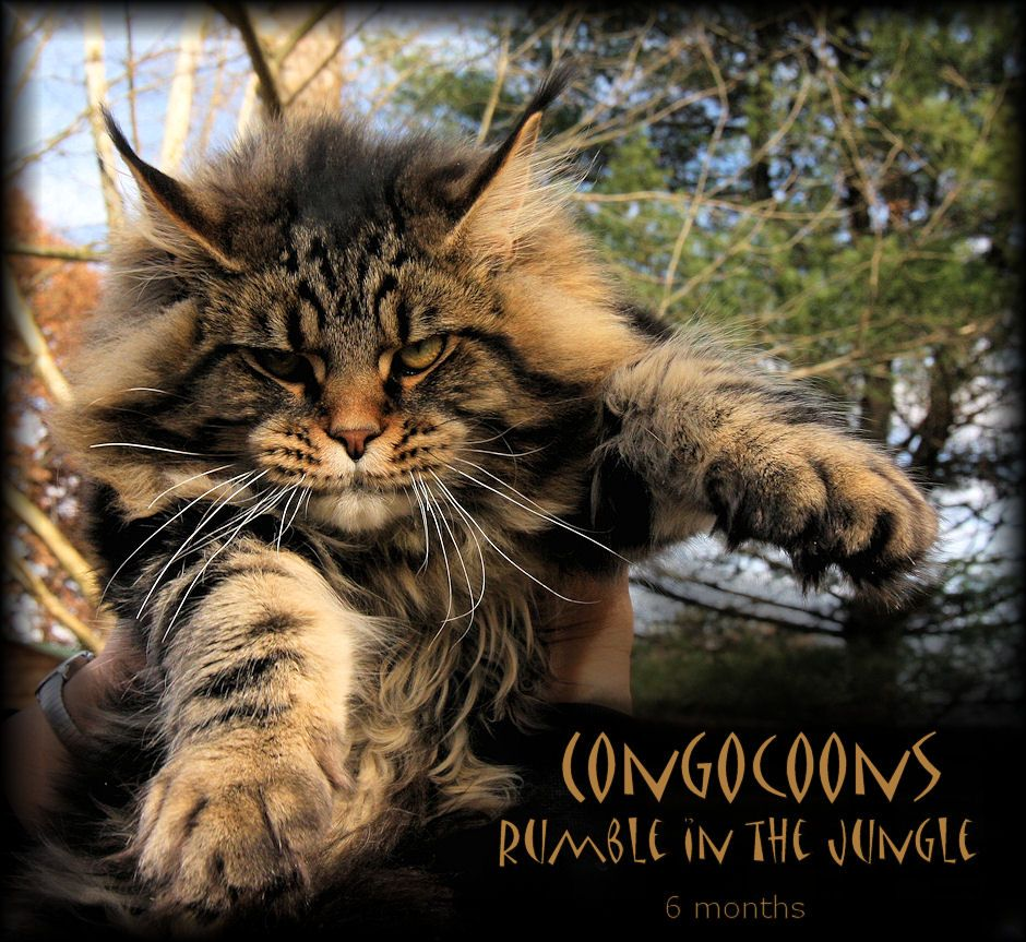 picture of a maine coon kitten Cats Pinterest