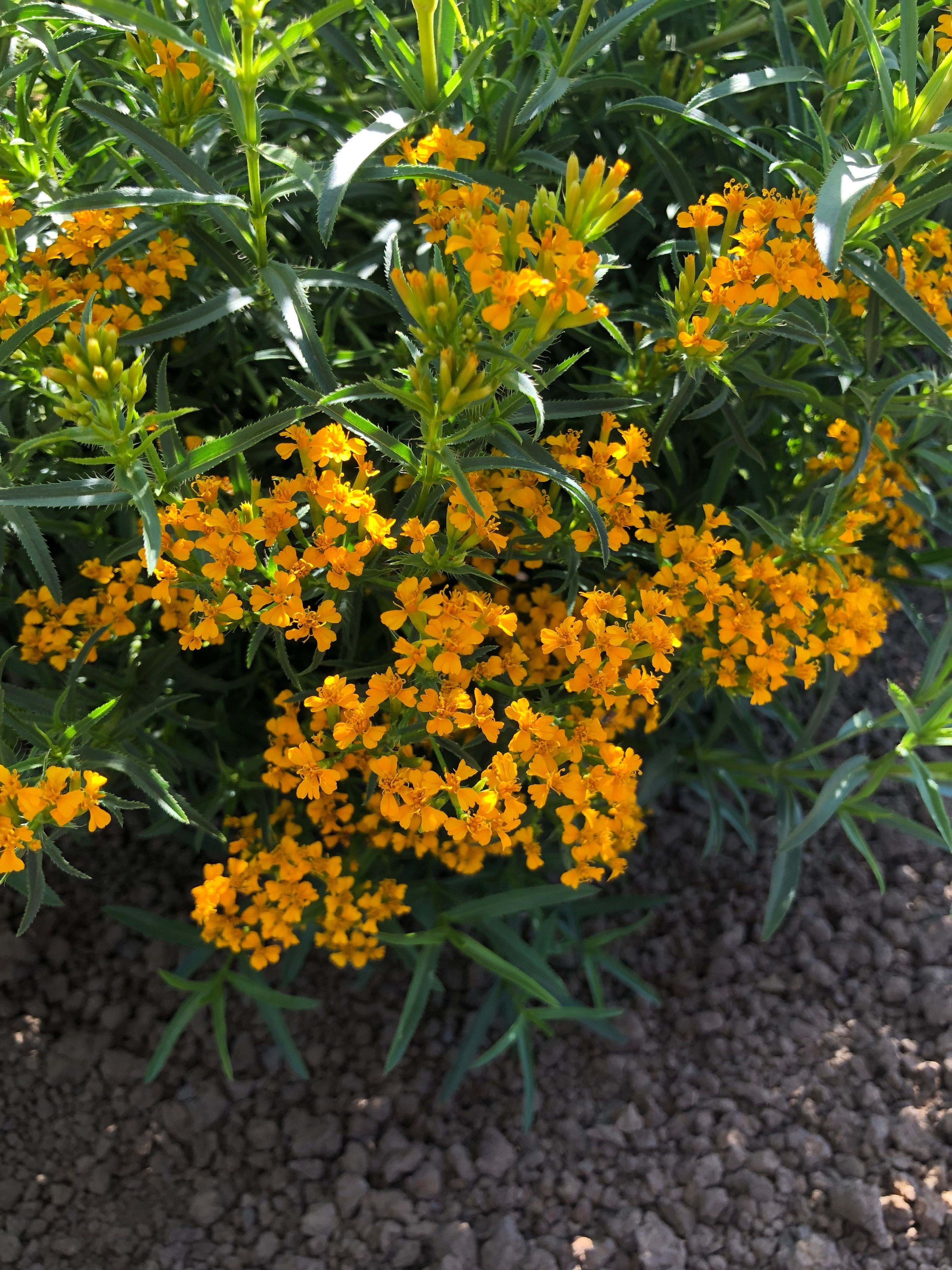 Mexican Tarragon National Garden Bureau In 2020 Plants Cool Plants Garden Cooking