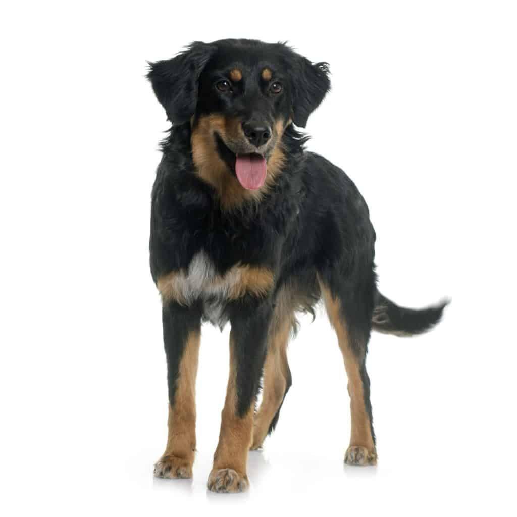 Hovawart Hund Charakter Ernahrung Pflege Hovawart Hund Hunderassen Hovawart