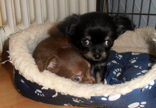 Drei Kleine Chihuahua Manner In Rheinland Pfalz Katzenelnbogen Chihuahua Und Chihuahuawelpen Puppy Chihuahua Welpen Hunde Welpen Welpen