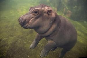 Adorable Baby Hippo Fiona Is Getting Her Own Video Series #babyhippo Adorable Baby Hippo Fiona Is Getting Her Own Video Series #babyhippo Adorable Baby Hippo Fiona Is Getting Her Own Video Series #babyhippo Adorable Baby Hippo Fiona Is Getting Her Own Video Series #babyhippo Adorable Baby Hippo Fiona Is Getting Her Own Video Series #babyhippo Adorable Baby Hippo Fiona Is Getting Her Own Video Series #babyhippo Adorable Baby Hippo Fiona Is Getting Her Own Video Series #babyhippo Adorable Baby Hip #babyhippo