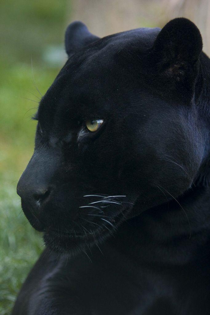 5122e090eba6 Kon the Black Jaguar
