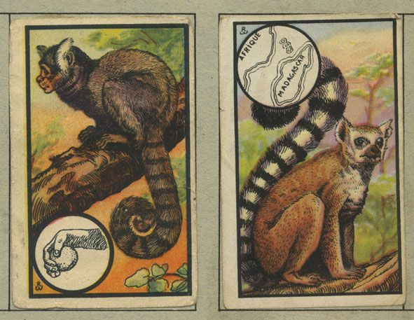 De Ouistiti en De Maki - Orde der handvleugeligen - van Zoologie - vintage collectable cards