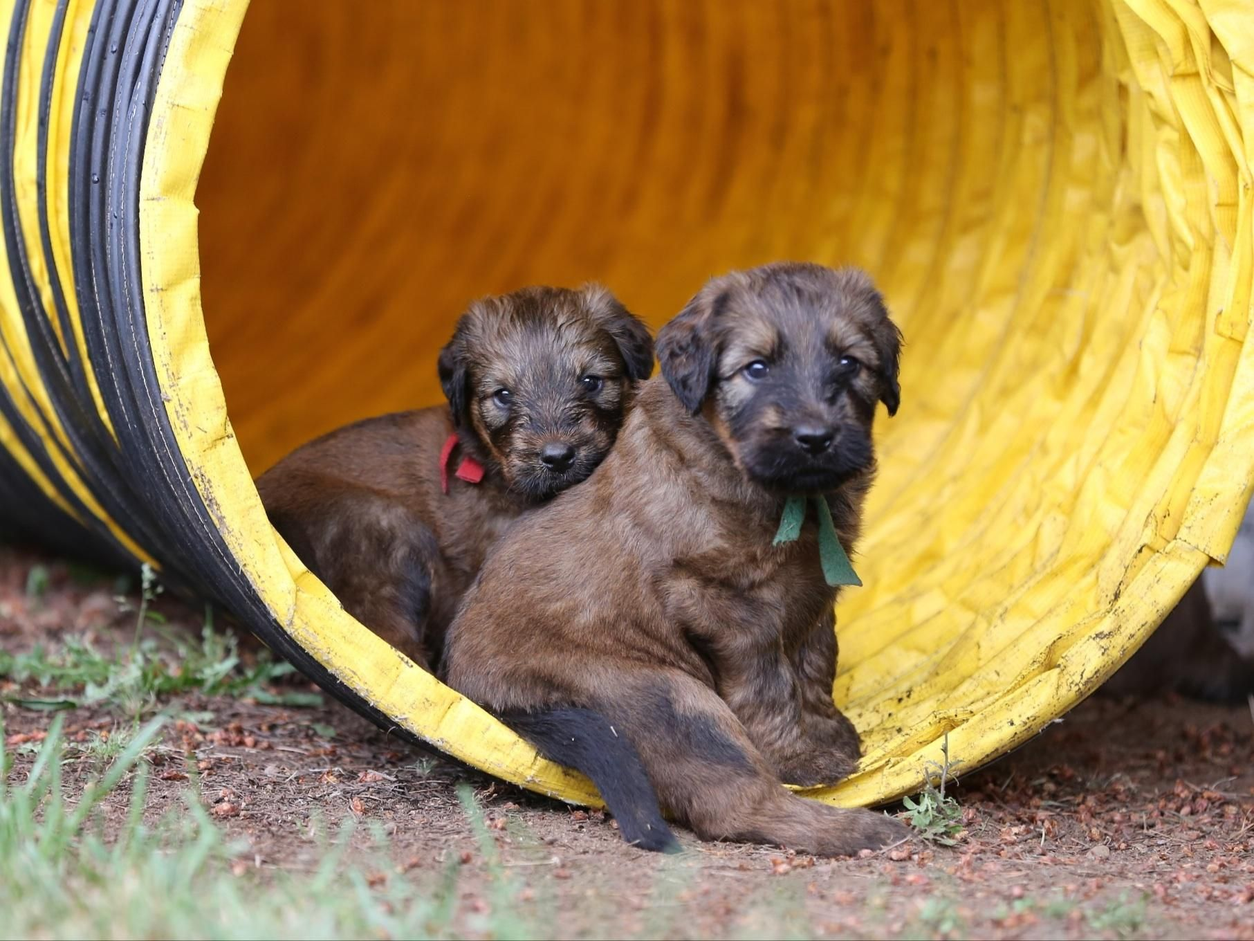Briard Puppies In Agility Tunnel Briard Pinterest Puppies