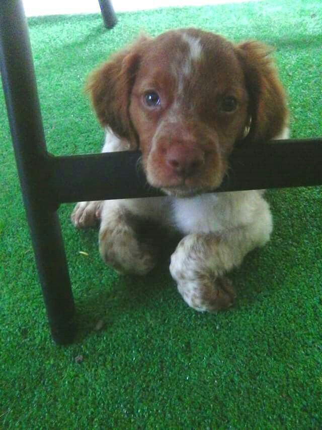 Brittany Spaniel Baby Puppy Kisses Pretty Dogs I Love Dogs