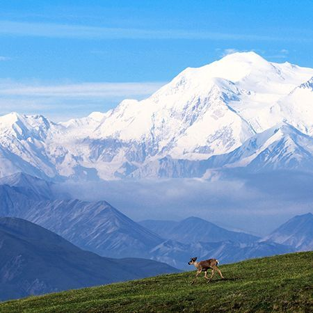 Picture of a caribou wandering in a field in Denali National Park, Alaska