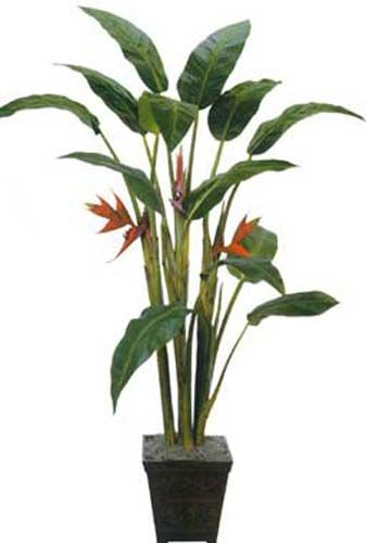 Gentil Tall Giant Heliconia