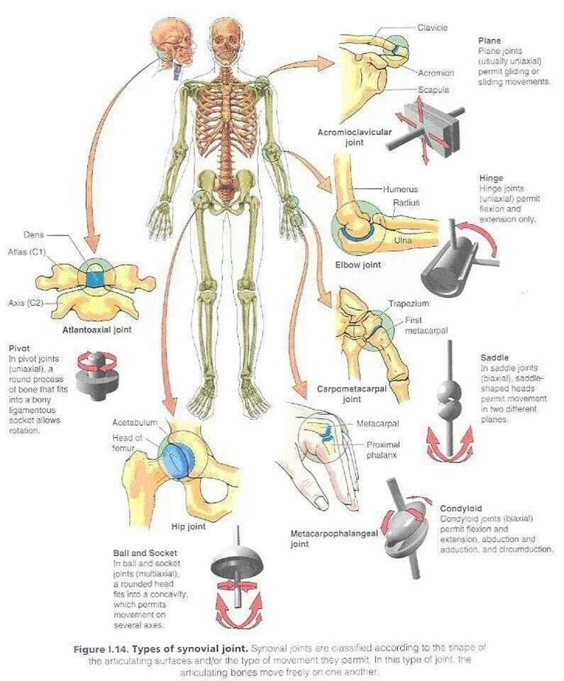Tipos de articulaciones | Body | Pinterest | Tipos de, Ciencia y ...