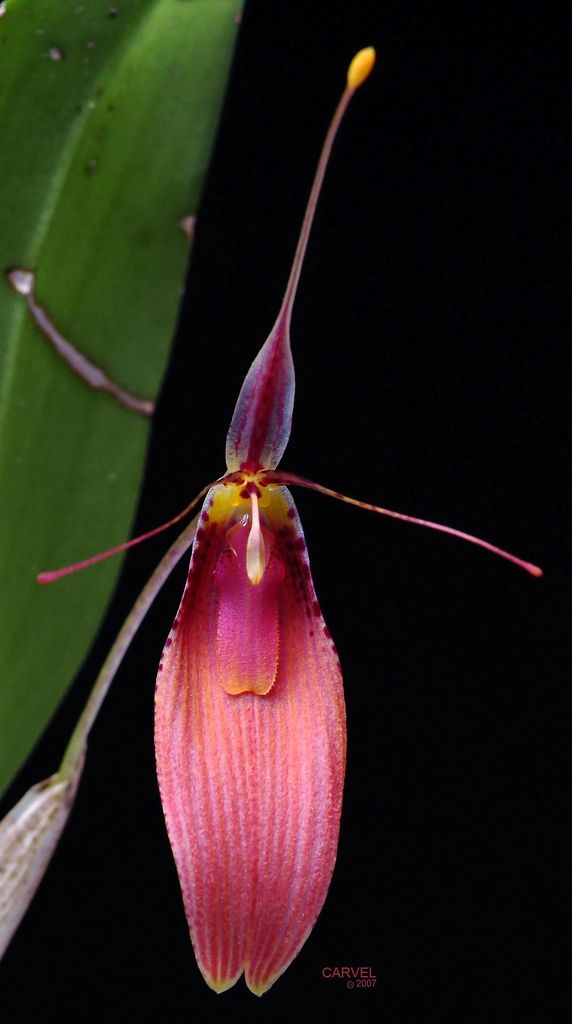 Restrepia cuprea, the Copper-colored Restrepia, is a species of orchid endemic to Colombia. Flickr - Photo Sharing!
