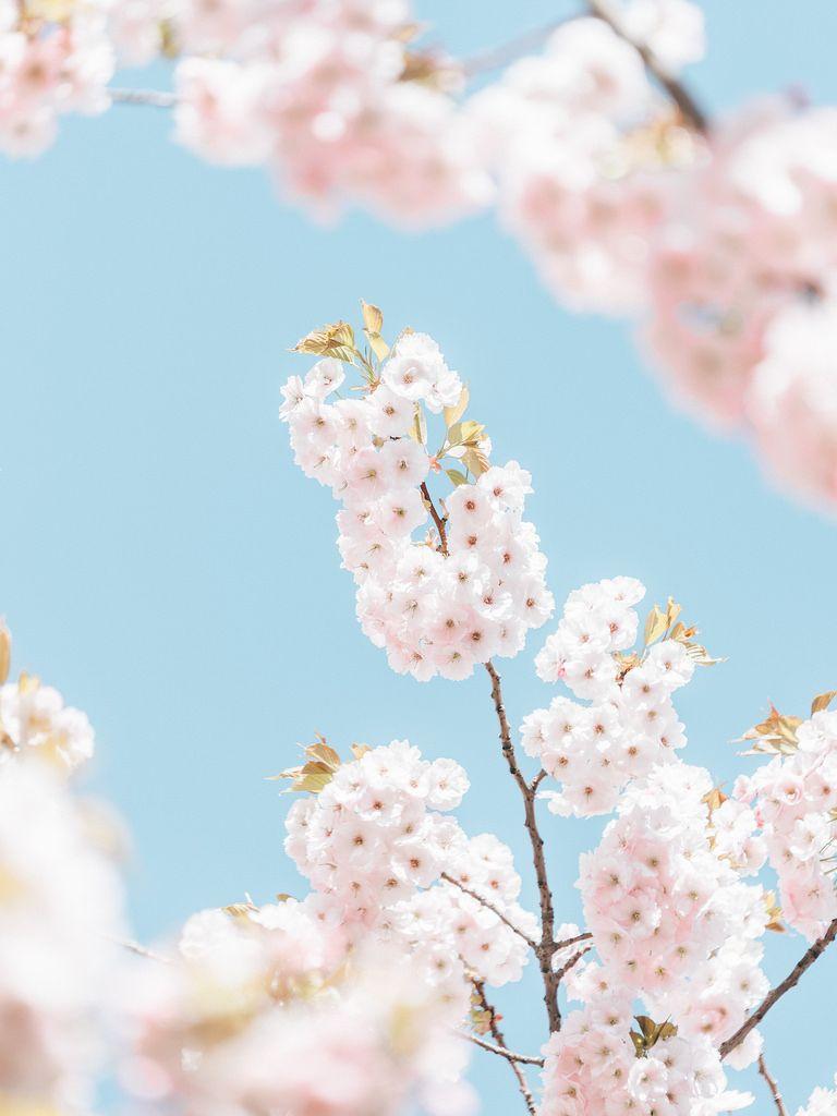 四月桜 by Crusade.