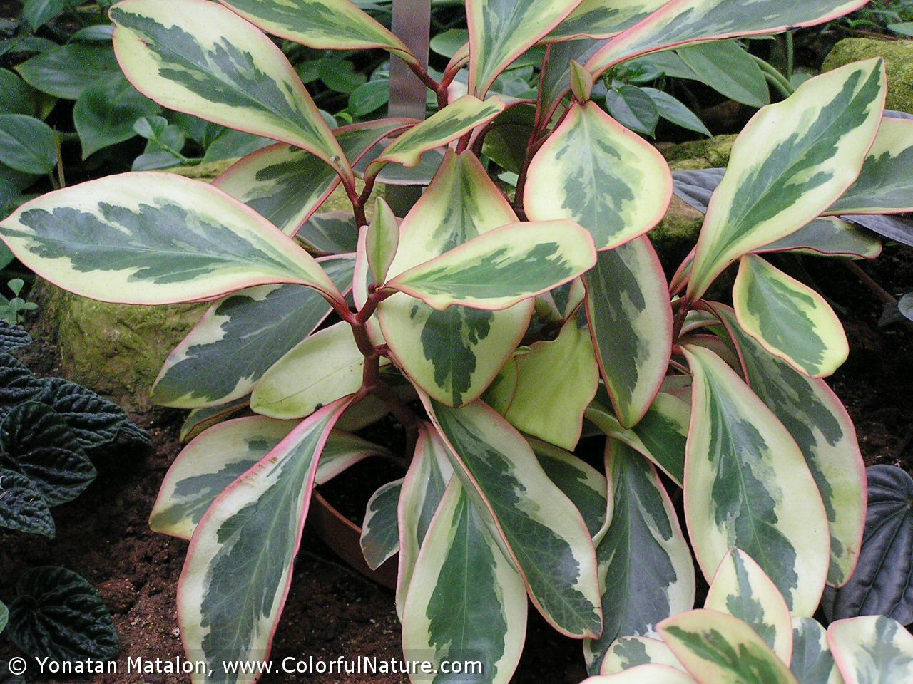 1fdbc43fb779f45103d276251f42431a Variegated Peperomia House Plant Care on jelly peperomia plant care, peperomia obtusifolia care, variegated hoya plant care, variegated teardrop peperomia care, variegated yucca plant care, peperomia caperata plant care, variegated coleus plant care, variegated schefflera plant care, variegated ground cover plants, calathea care, variegated wax plant, variegated rubber plant, variegated wandering jew plant, variegated weeping fig plant care, variegated ginger plant care, variegated ivy plant, variegated house plant identification, peperomia clusiifolia plant care, variegated house plant with waxy leaves, variegated pittosporum care,