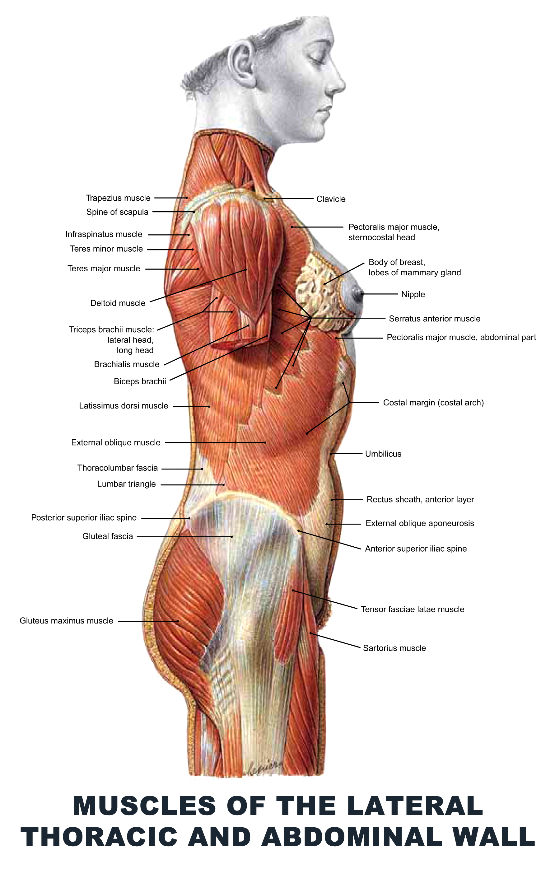 Muscles of the Lateral Thoracic and Abdominal Wall - #anatomy images ...