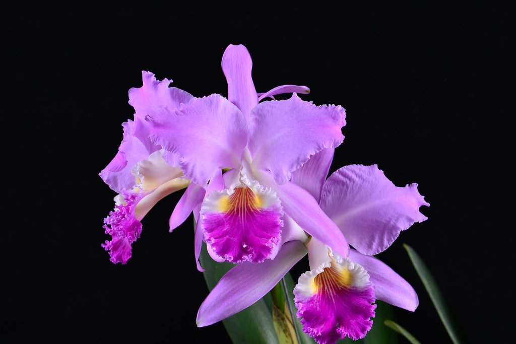 Cattleya Mendelii Cattleya Orchidaceae Planting Flowers