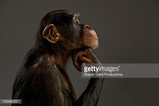 100480527-chimpanzee-in-thinker-profile-gettyimages.jpg 507×338 pixels