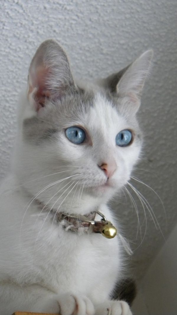 Blue Eyed White Cat by isabelle   Animaux, Animaux trop ...  White Cat With Dark Blue Eyes