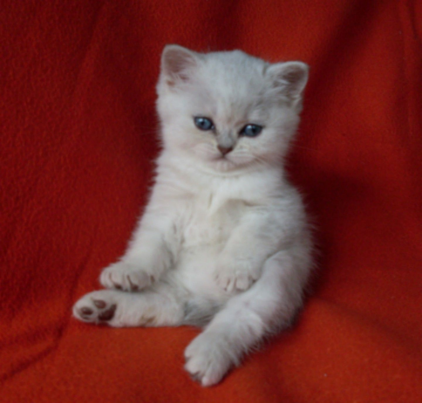 British Shorthair And Scottish Fold Kittens For Sale Brits Korthaar Katten Brits