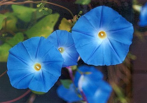 Psychoactive Botanicals A List Blue Morning Glory Morning Glory Vine Morning Glory Flowers