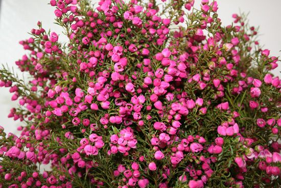 Red Or Hot Pink Boronia In The Heather Family Native To Australia Australian Native Plants Flowers Plants