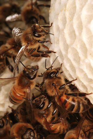Buildings combs. Bees use 8 to 9 kilos of honey and pollen to produce one kilogram of wax