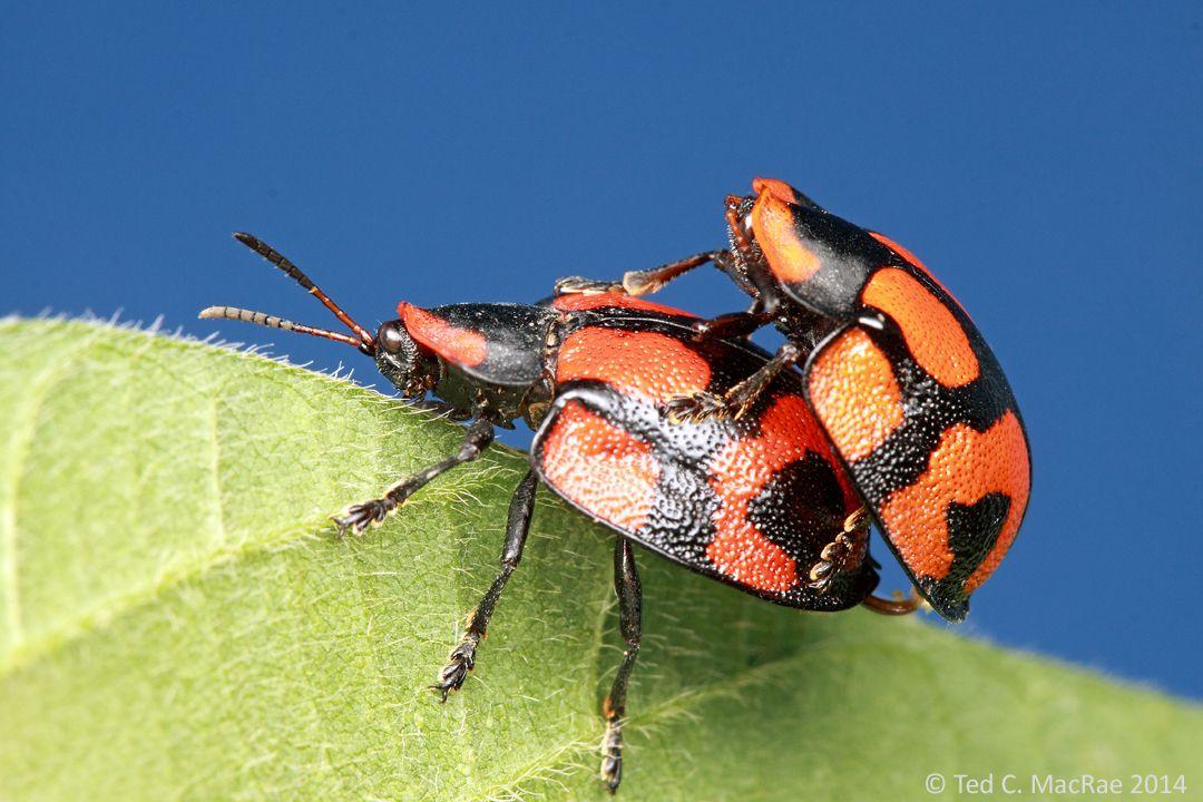 Tortoise Beetles On The Job Tortoise Beetle Beetle Beetle Insect