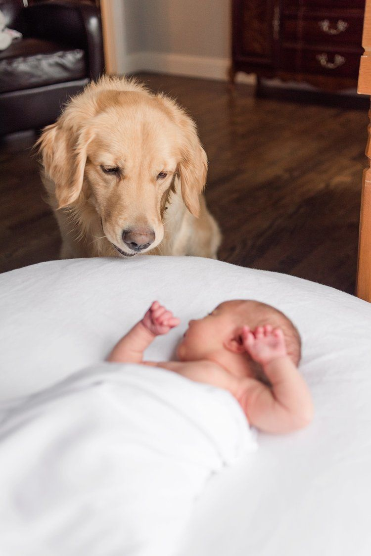 Golden Retriever With Newborn Atlanta Newborn Session With