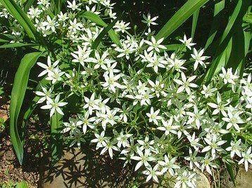Star Of Bethlehem Easy To Grow Bulbs Plants Star Of Bethlehem