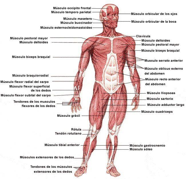 sistema muscular - Buscar con Google | Anatomía | Pinterest ...
