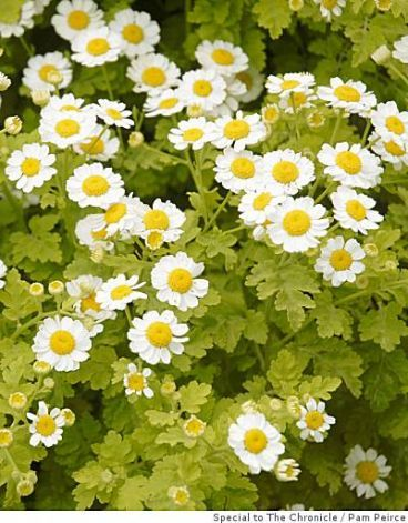 Golden Feverfew Or False Chamomile Gorgeously Bright Foliage And Delicate Flowers Feverfew Plant Feverfew Dry Garden