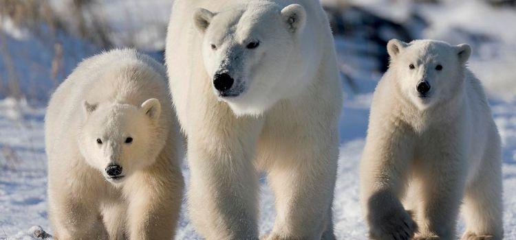 viaje ver osos polares canadá