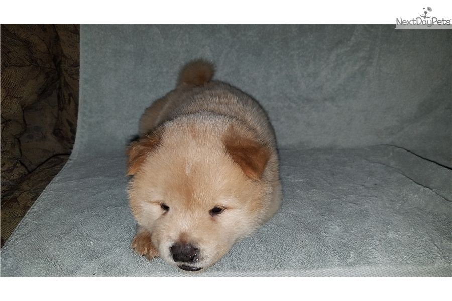 Sweet Cream Female Chow Chow Puppy For Sale Near Tampa Bay Area