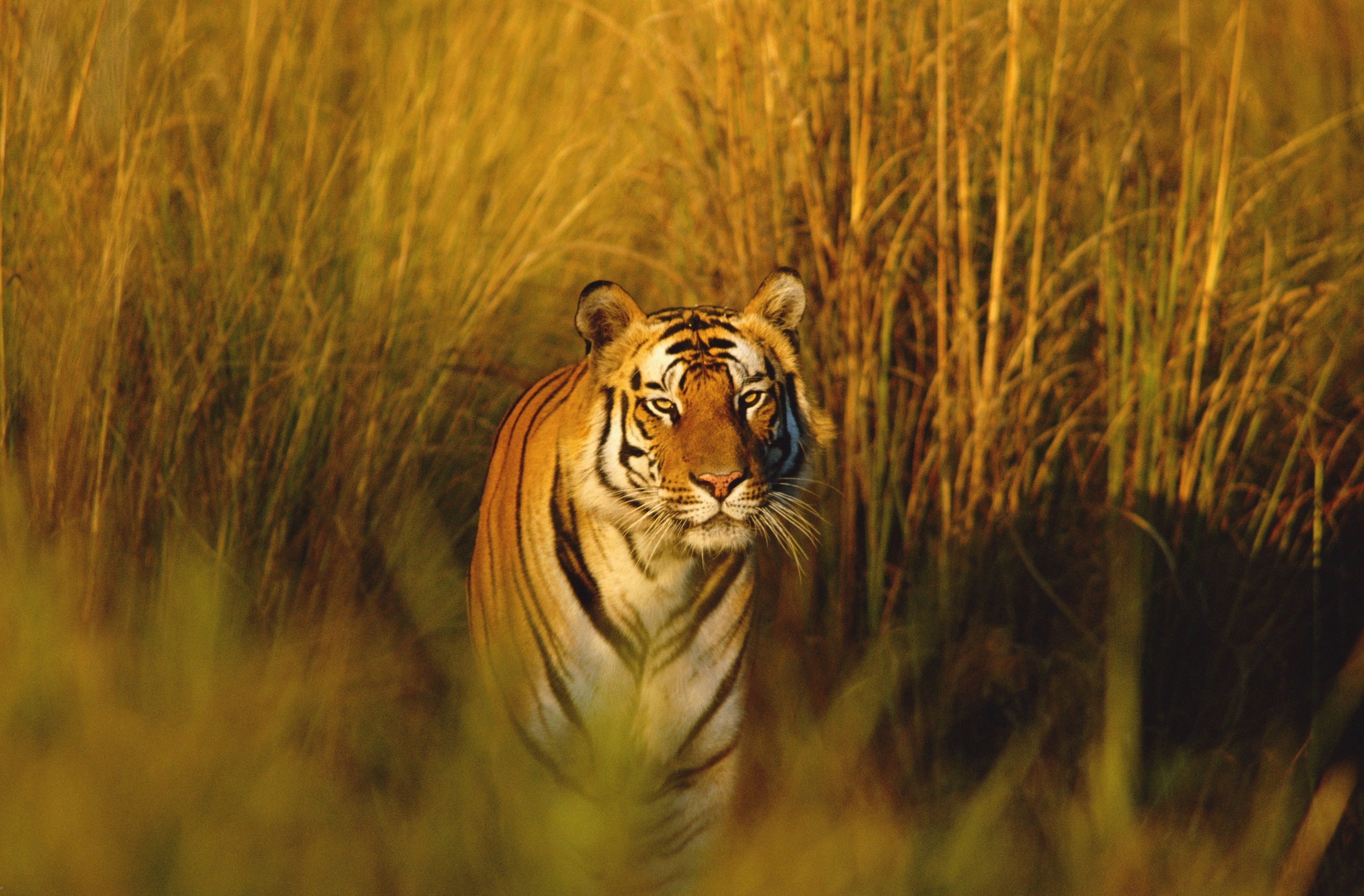 3840x2522 bengal tiger 4k wallpapers hd high resolution | wallpapers