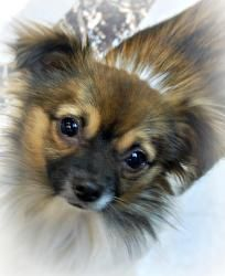 Adopt Caz On With Images Pomeranian Breed Dog Breeds Dogs