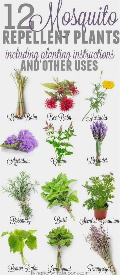 12 Awesome Mosquito Repellent Plants That Will Make You Go Outside Again is part of Plants, Mosquito repelling plants, Plants that repel bugs, Mosquito plants, Backyard garden, Garden landscaping - We love spring and summer but those mosquitos   not so much! Did you know there are some awesome and quite beautiful plants that you can plant in your garden or pots that repel mosquitos  12