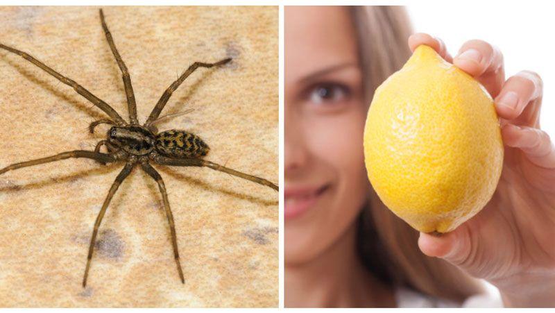 bli av med spindlar inomhus