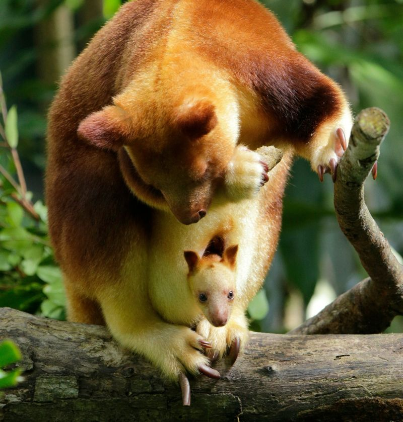 this tiny goodfellows tree kangaroo joey born at wildlife reserves singapore boosts the population of this