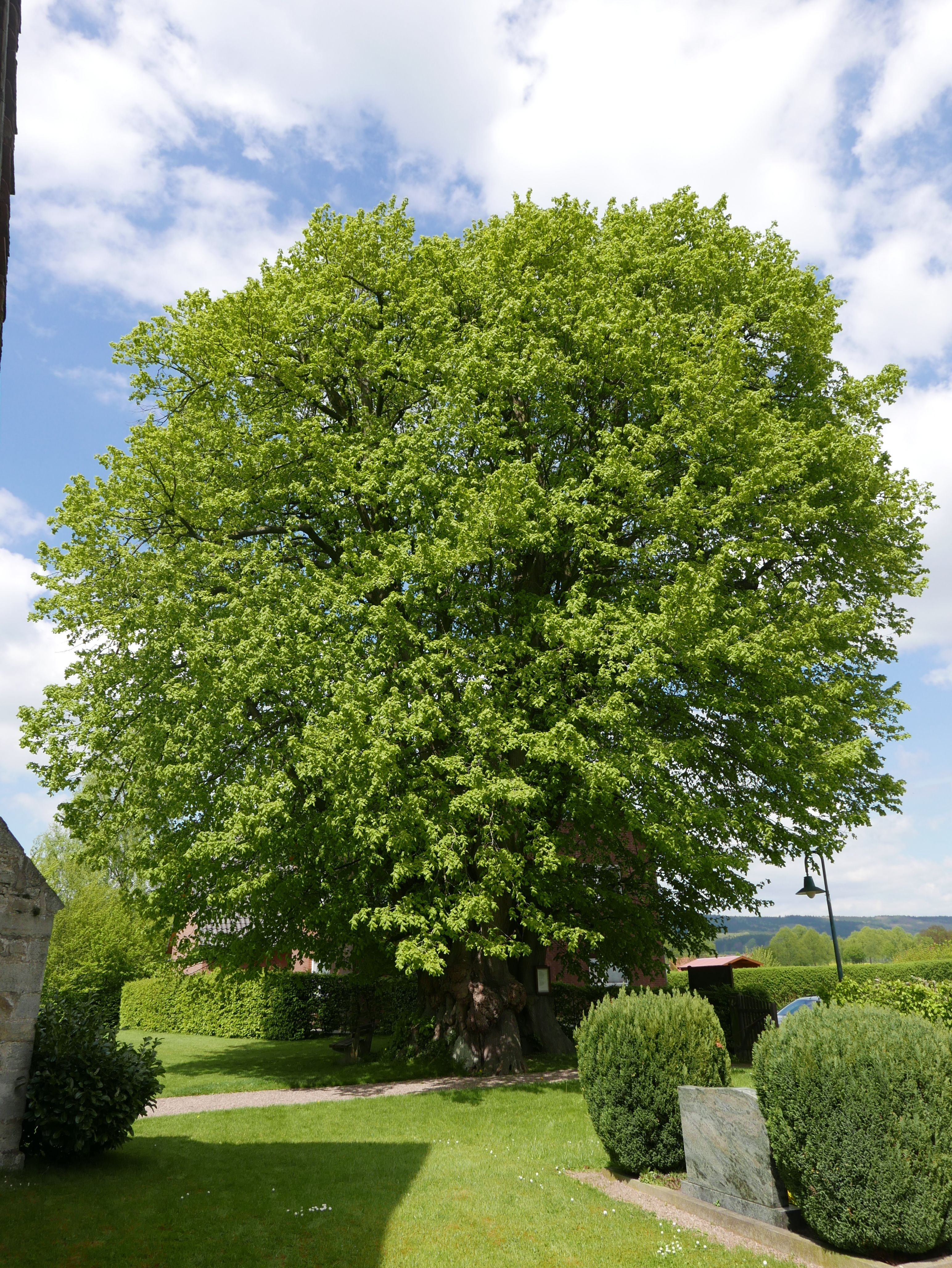 500yr old lime tree