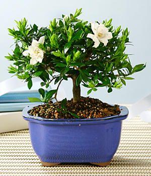 gardenia bonsai... My Favorite Flower Ever..