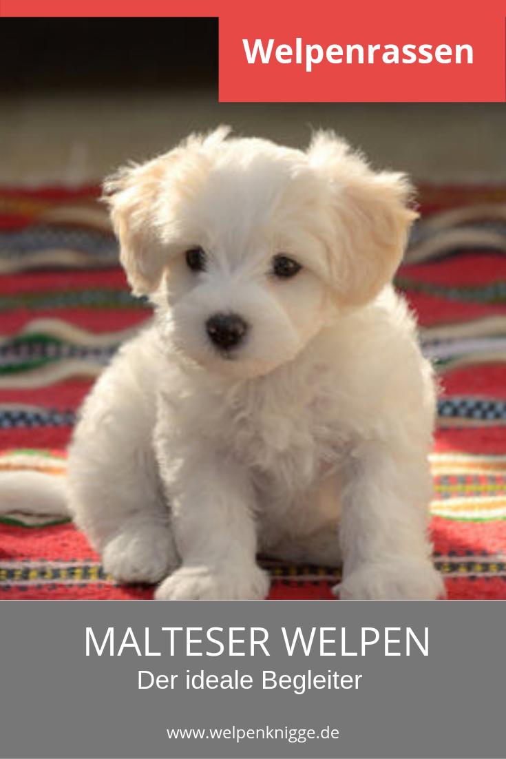 Tierforum Malteser Hunde Welpen Hundeinserat Tierinserat Nr 35904 Loschen Malteser Hund Hunde Welpen Hunde