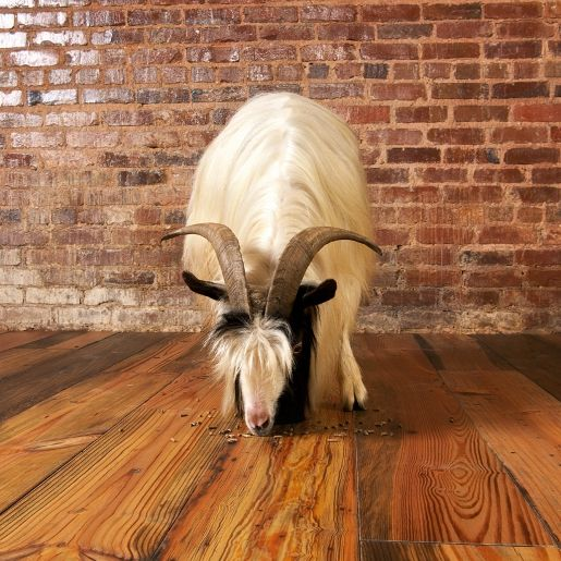 heart pine mixed grade 4mm wear layer engineered prefinished rh pinterest co uk goat in my room goat in my room