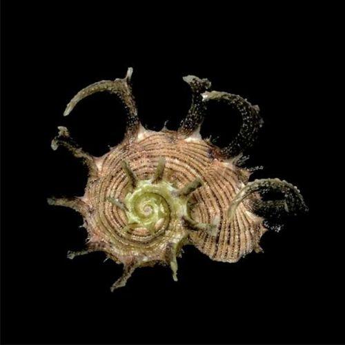 Deltona Seashells  Gifts - ANGARIA DELPHINULA SHELL (EA)