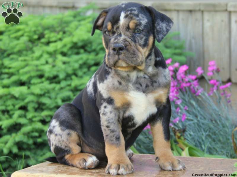 Rottweiler English Bulldog Mix | www.pixshark.com - Images ...