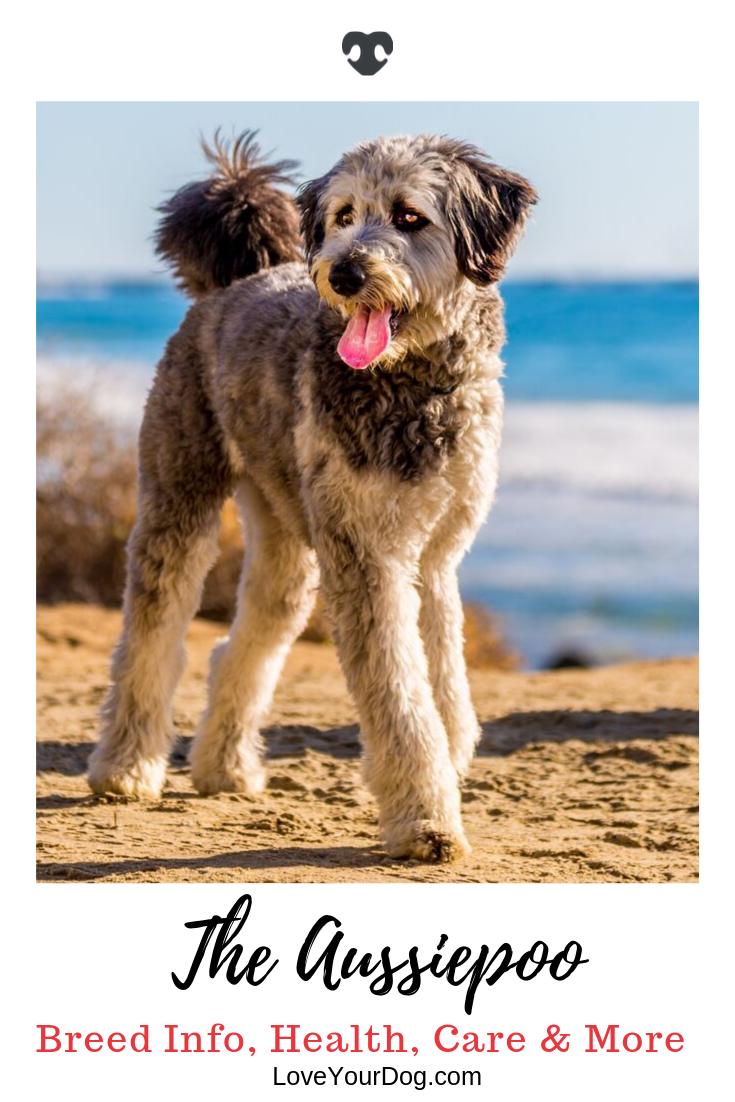 Australian Shepherd Poodle Mix Aka Aussiedoodle Or Aussiepoo
