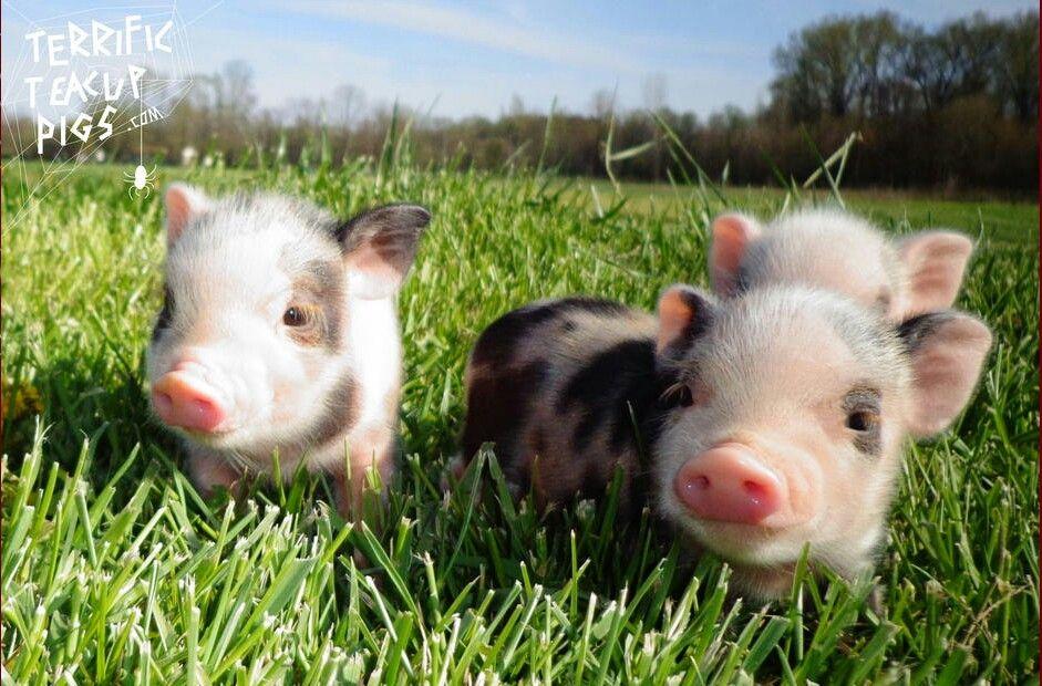 豚の兄弟たち
