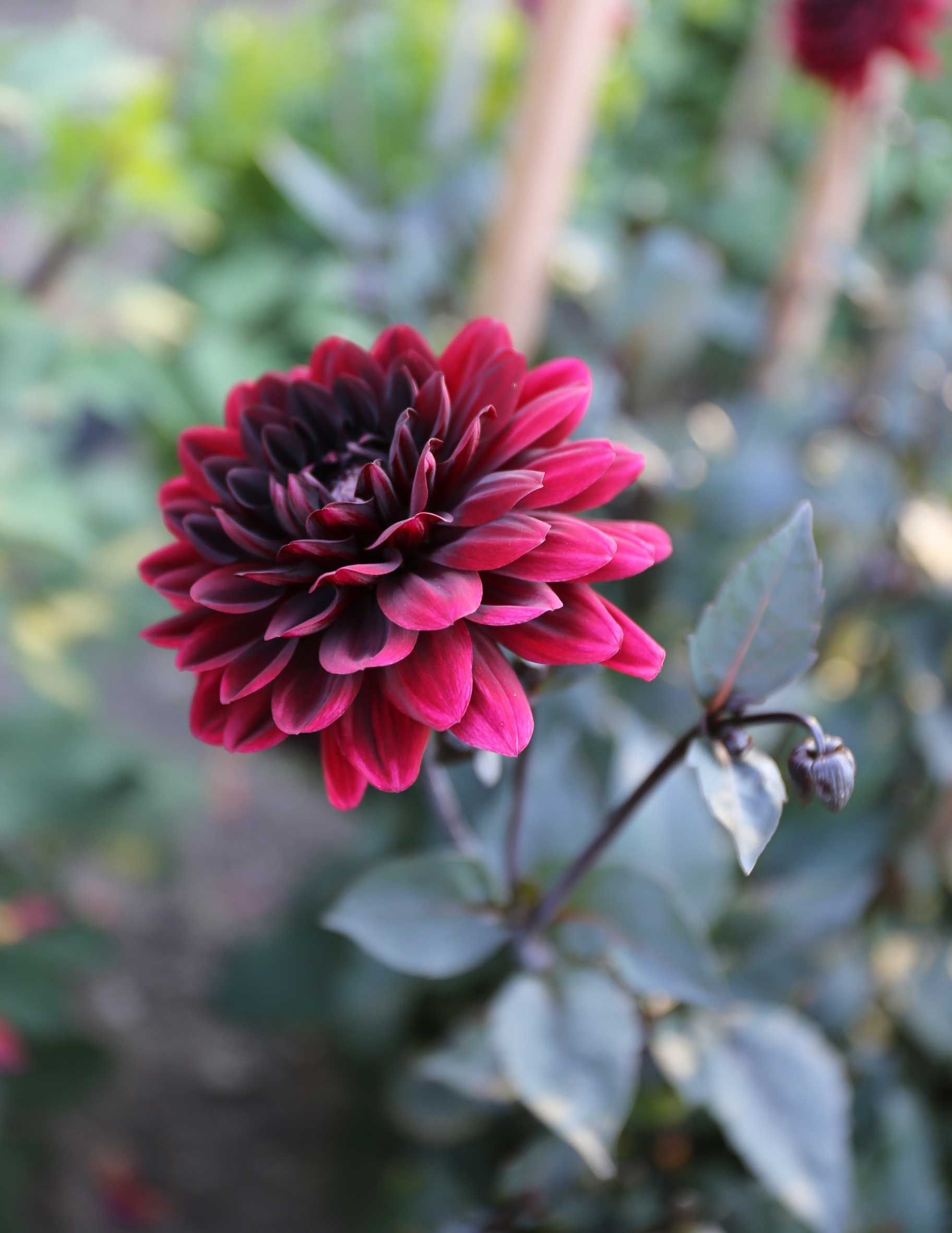 Top performing dahlias for summer 2016 dahlia flower arrangements karma chocolate dahlia is a wow in flower arrangements with its dark foliage and bushy izmirmasajfo