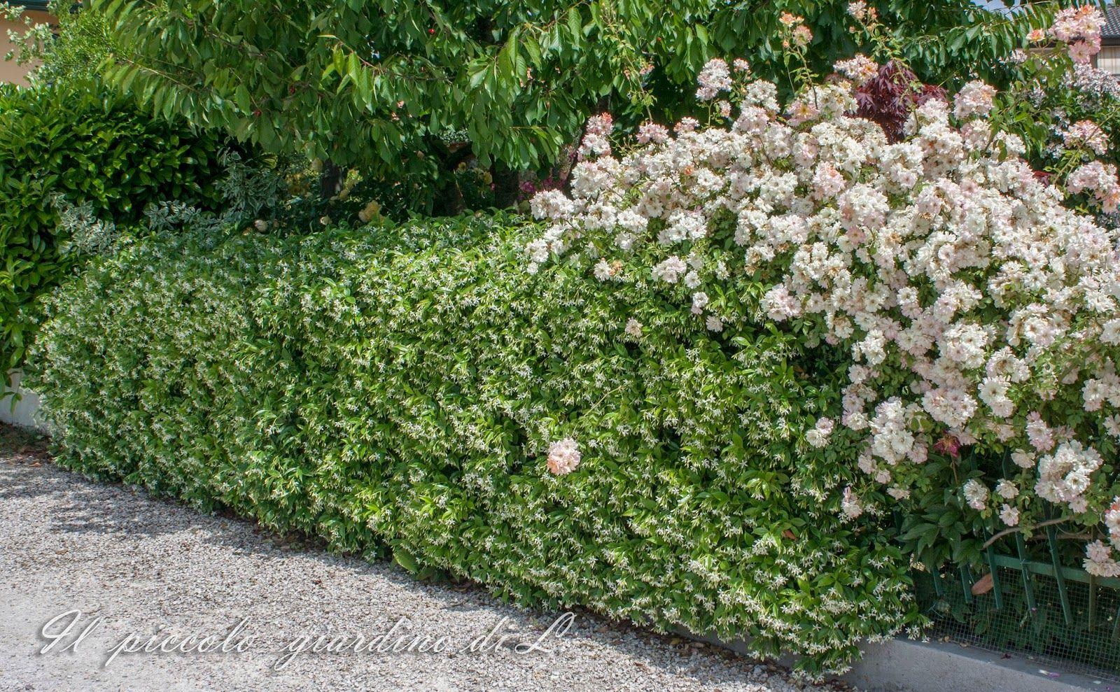 Superb Un Alleato Per I Piccoli Giardini: Il Falso Gelsomino O Meglio Rincospermo  (Rhynchospermum Jasminoides/Trachelospermum Jasminoides) | Pinterest