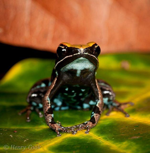 Amazing Frog: Mantella Ebenaui, Antongil, Masoala-7398