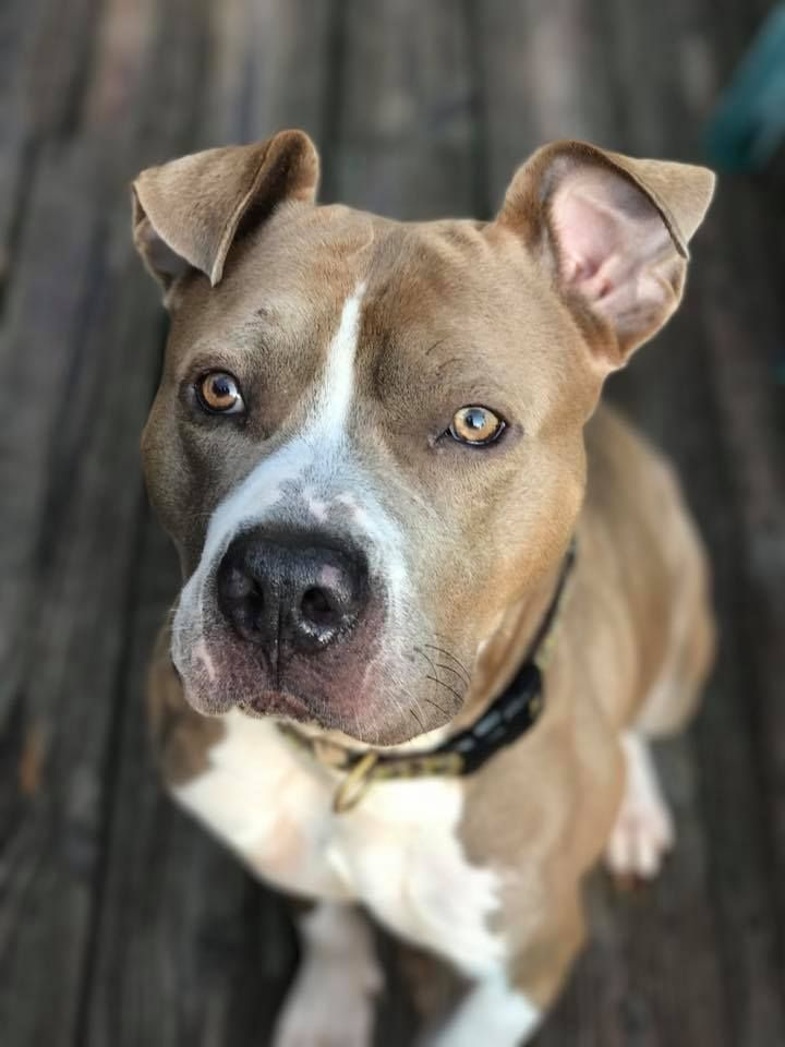 Adopt Cool Jay On Dog Drawing Pitbulls Pitbull Terrier