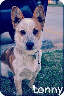 Beaumont Tx Corgi Blue Heeler Mix Meet Lenny A Dog For
